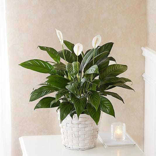 6-inch Peace Lily
