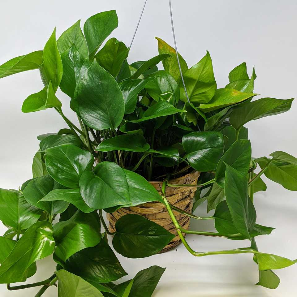 6-inch Green Queen Pothos